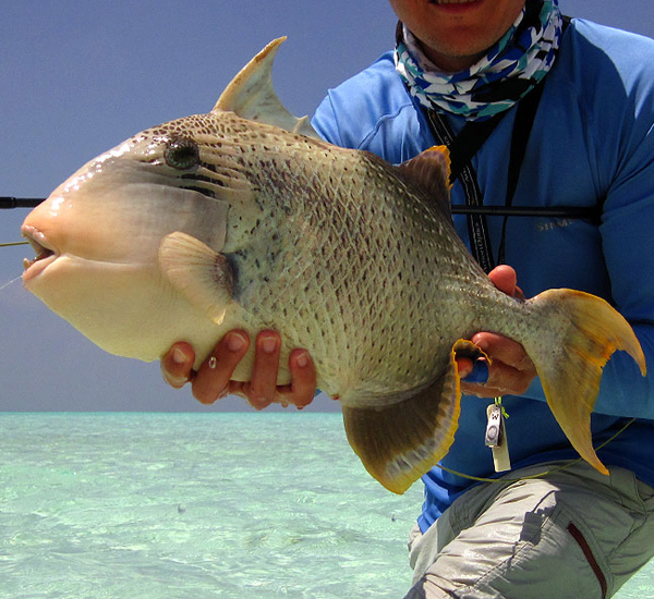 Fly Fishing for large Triggerfish
