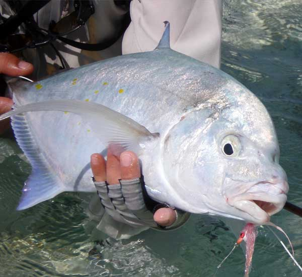 Yellowspotted Trevally on Fly